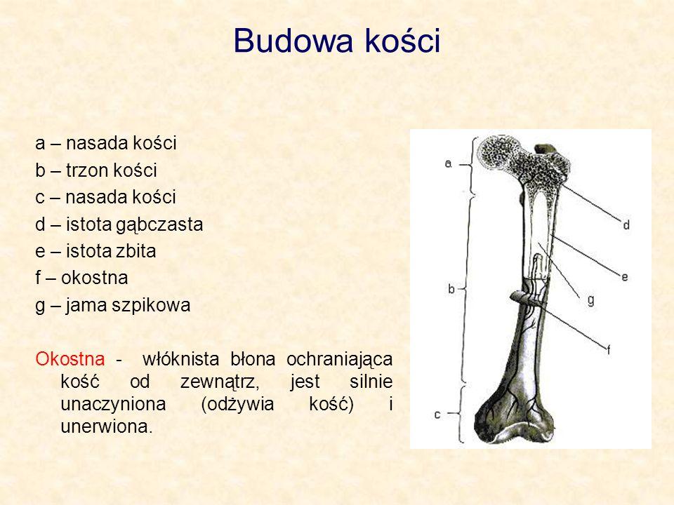 Budowa kości a – nasada kości b – trzon kości c – nasada kości