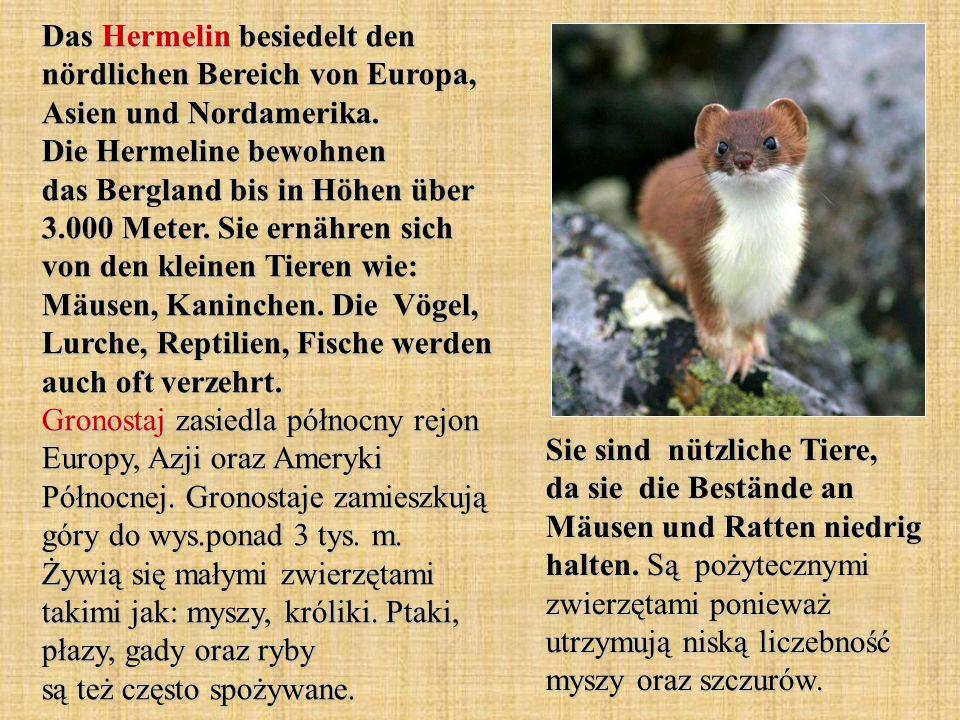 Das Hermelin besiedelt den nördlichen Bereich von Europa, Asien und Nordamerika. Die Hermeline bewohnen das Bergland bis in Höhen über 3.000 Meter. Sie ernähren sich von den kleinen Tieren wie: Mäusen, Kaninchen. Die Vögel, Lurche, Reptilien, Fische werden auch oft verzehrt. Gronostaj zasiedla północny rejon Europy, Azji oraz Ameryki Północnej. Gronostaje zamieszkują góry do wys.ponad 3 tys. m. Żywią się małymi zwierzętami takimi jak: myszy, króliki. Ptaki, płazy, gady oraz ryby są też często spożywane.