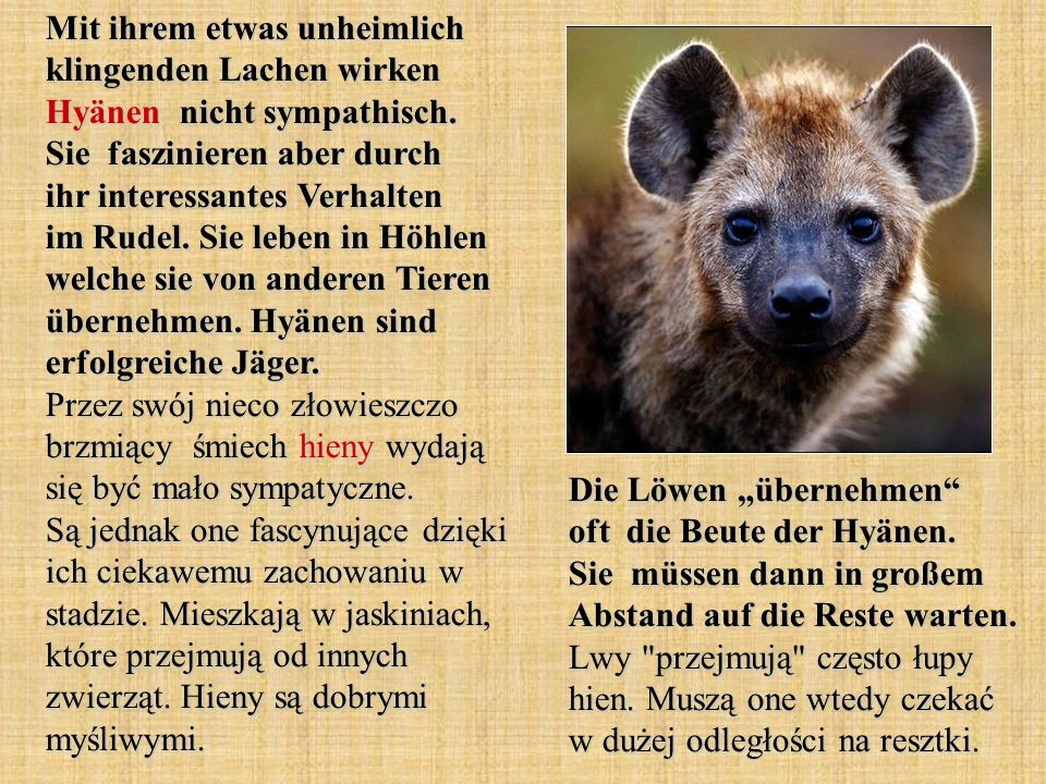 Mit ihrem etwas unheimlich klingenden Lachen wirken Hyänen nicht sympathisch. Sie faszinieren aber durch ihr interessantes Verhalten im Rudel. Sie leben in Höhlen welche sie von anderen Tieren übernehmen. Hyänen sind erfolgreiche Jäger. Przez swój nieco złowieszczo brzmiący śmiech hieny wydają się być mało sympatyczne. Są jednak one fascynujące dzięki ich ciekawemu zachowaniu w stadzie. Mieszkają w jaskiniach, które przejmują od innych zwierząt. Hieny są dobrymi myśliwymi.