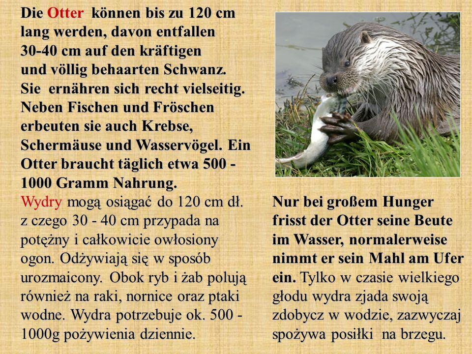 Die Otter können bis zu 120 cm lang werden, davon entfallen 30-40 cm auf den kräftigen und völlig behaarten Schwanz. Sie ernähren sich recht vielseitig. Neben Fischen und Fröschen erbeuten sie auch Krebse, Schermäuse und Wasservögel. Ein Otter braucht täglich etwa 500 - 1000 Gramm Nahrung. Wydry mogą osiągać do 120 cm dł. z czego 30 - 40 cm przypada na potężny i całkowicie owłosiony ogon. Odżywiają się w sposób urozmaicony. Obok ryb i żab polują również na raki, nornice oraz ptaki wodne. Wydra potrzebuje ok. 500 - 1000g pożywienia dziennie.
