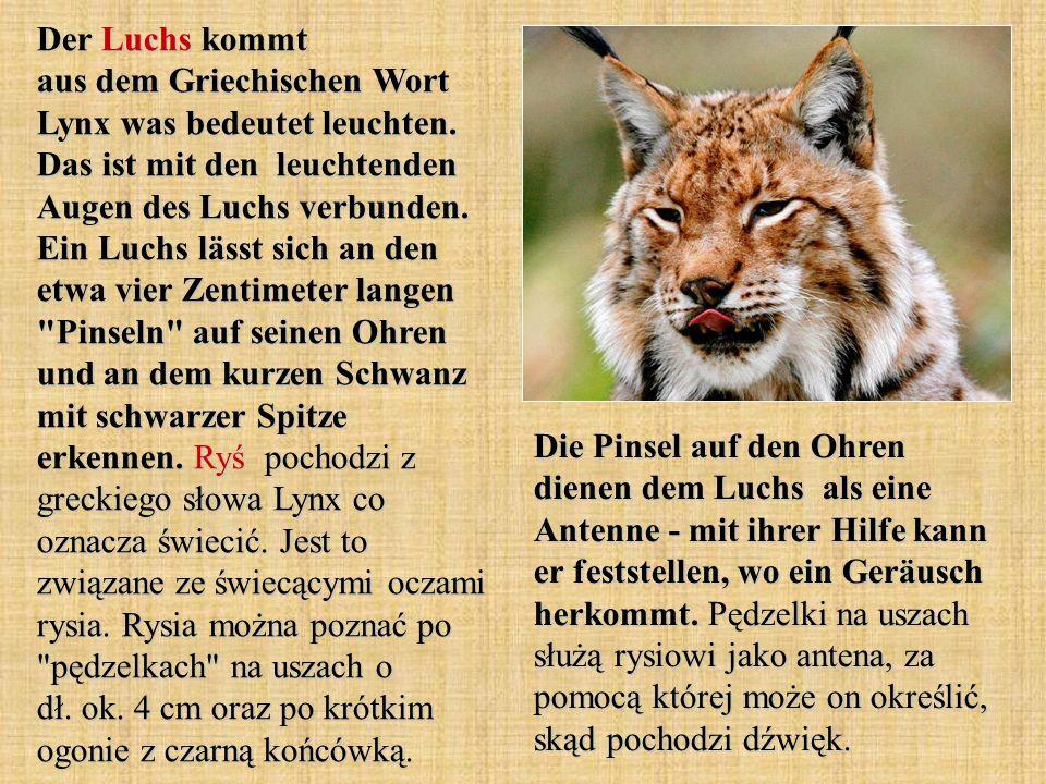 Der Luchs kommt aus dem Griechischen Wort Lynx was bedeutet leuchten