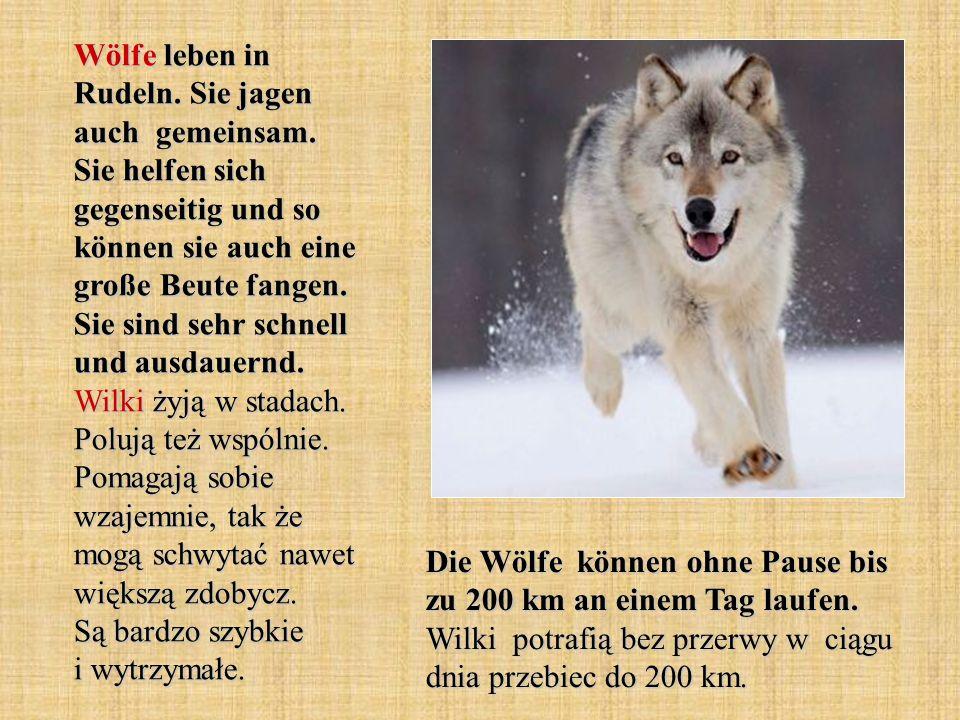 Wölfe leben in Rudeln. Sie jagen auch gemeinsam