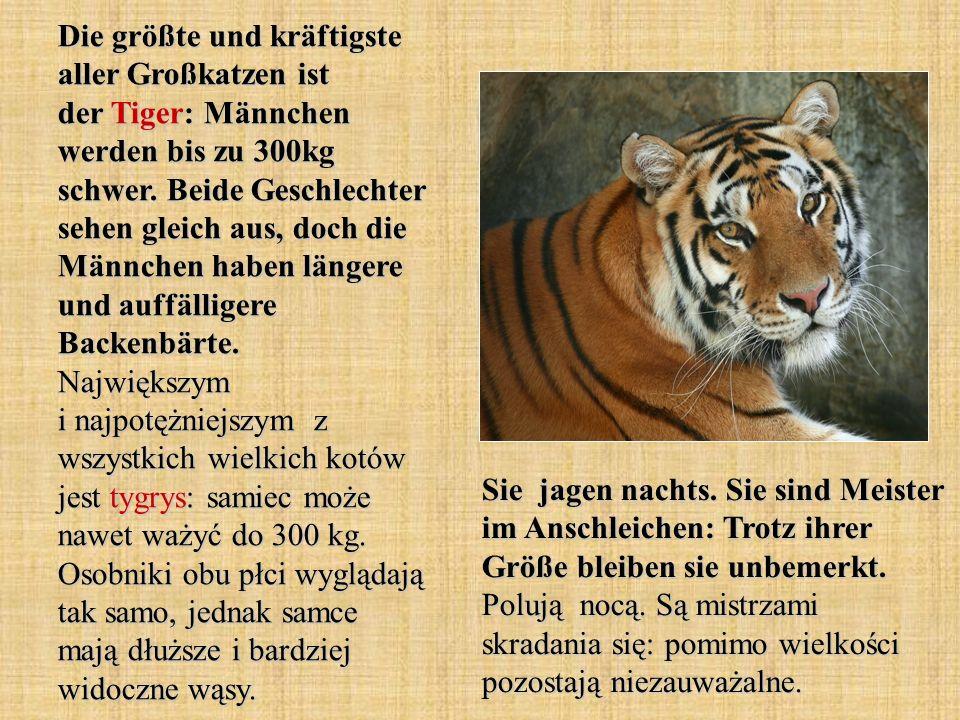 Die größte und kräftigste aller Großkatzen ist der Tiger: Männchen werden bis zu 300kg schwer. Beide Geschlechter sehen gleich aus, doch die Männchen haben längere und auffälligere Backenbärte. Największym i najpotężniejszym z wszystkich wielkich kotów jest tygrys: samiec może nawet ważyć do 300 kg. Osobniki obu płci wyglądają tak samo, jednak samce mają dłuższe i bardziej widoczne wąsy.