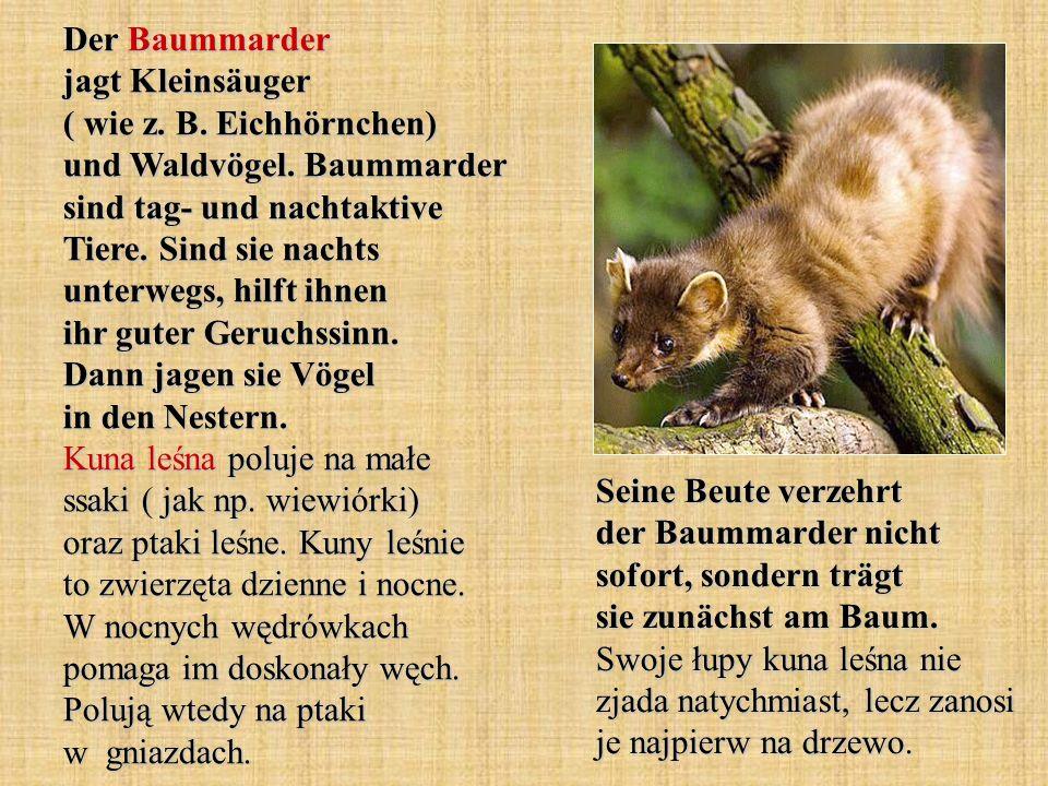 Der Baummarder jagt Kleinsäuger ( wie z. B. Eichhörnchen) und Waldvögel. Baummarder sind tag- und nachtaktive Tiere. Sind sie nachts unterwegs, hilft ihnen ihr guter Geruchssinn. Dann jagen sie Vögel in den Nestern. Kuna leśna poluje na małe ssaki ( jak np. wiewiórki) oraz ptaki leśne. Kuny leśnie to zwierzęta dzienne i nocne. W nocnych wędrówkach pomaga im doskonały węch. Polują wtedy na ptaki w gniazdach.