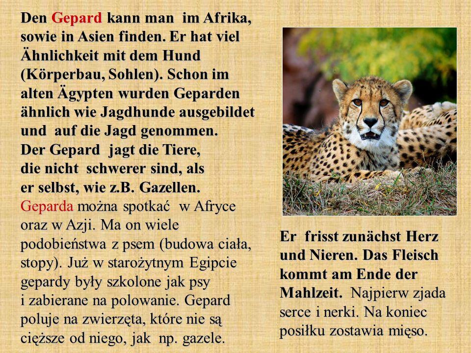 Den Gepard kann man im Afrika, sowie in Asien finden