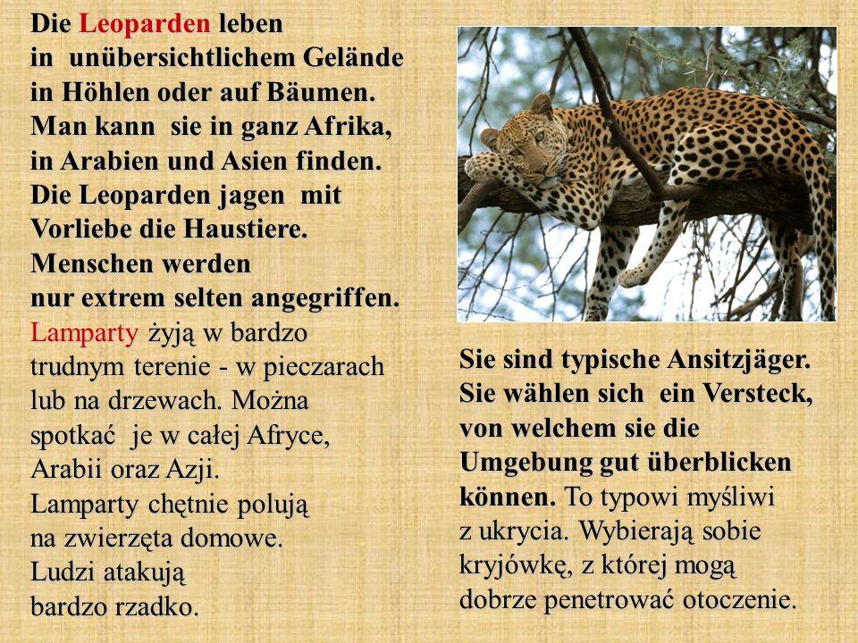 Die Leoparden leben in unübersichtlichem Gelände in Höhlen oder auf Bäumen. Man kann sie in ganz Afrika, in Arabien und Asien finden. Die Leoparden jagen mit Vorliebe die Haustiere. Menschen werden nur extrem selten angegriffen. Lamparty żyją w bardzo trudnym terenie - w pieczarach lub na drzewach. Można spotkać je w całej Afryce, Arabii oraz Azji. Lamparty chętnie polują na zwierzęta domowe. Ludzi atakują bardzo rzadko.