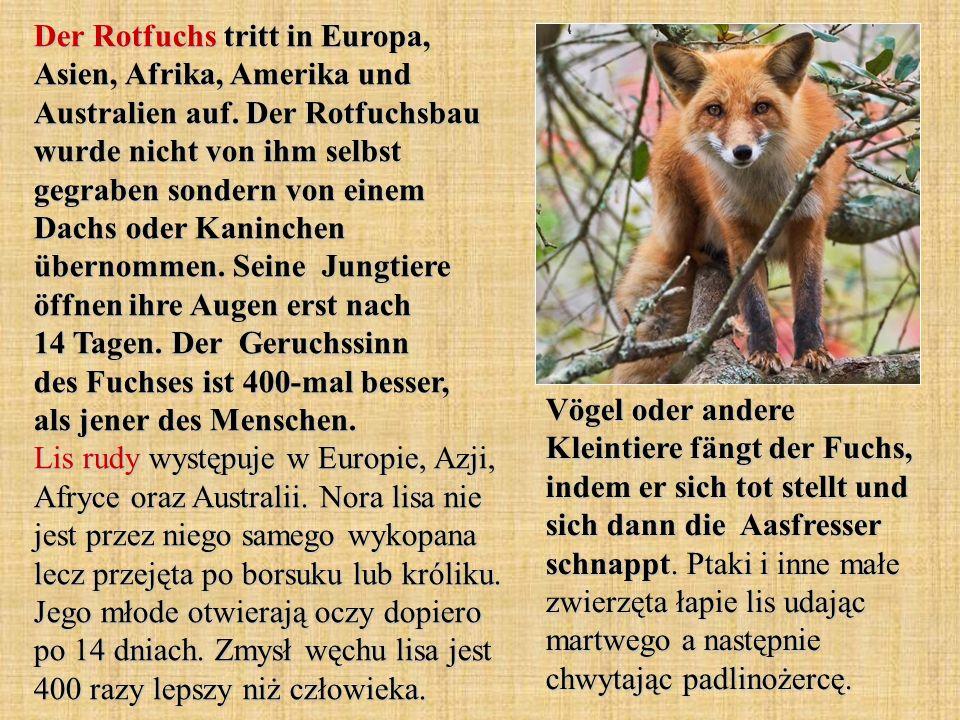 Der Rotfuchs tritt in Europa, Asien, Afrika, Amerika und Australien auf. Der Rotfuchsbau wurde nicht von ihm selbst gegraben sondern von einem Dachs oder Kaninchen übernommen. Seine Jungtiere öffnen ihre Augen erst nach 14 Tagen. Der Geruchssinn des Fuchses ist 400-mal besser, als jener des Menschen. Lis rudy występuje w Europie, Azji, Afryce oraz Australii. Nora lisa nie jest przez niego samego wykopana lecz przejęta po borsuku lub króliku. Jego młode otwierają oczy dopiero po 14 dniach. Zmysł węchu lisa jest 400 razy lepszy niż człowieka.