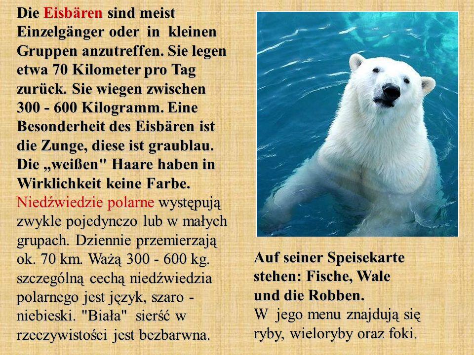 "Die Eisbären sind meist Einzelgänger oder in kleinen Gruppen anzutreffen. Sie legen etwa 70 Kilometer pro Tag zurück. Sie wiegen zwischen 300 - 600 Kilogramm. Eine Besonderheit des Eisbären ist die Zunge, diese ist graublau. Die ""weißen Haare haben in Wirklichkeit keine Farbe. Niedźwiedzie polarne występują zwykle pojedynczo lub w małych grupach. Dziennie przemierzają ok. 70 km. Ważą 300 - 600 kg. szczególną cechą niedźwiedzia polarnego jest język, szaro - niebieski. Biała sierść w rzeczywistości jest bezbarwna."