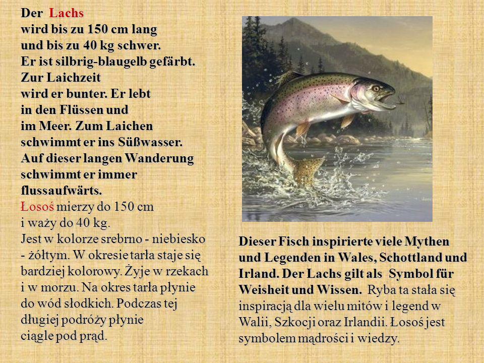 Der Lachs wird bis zu 150 cm lang und bis zu 40 kg schwer