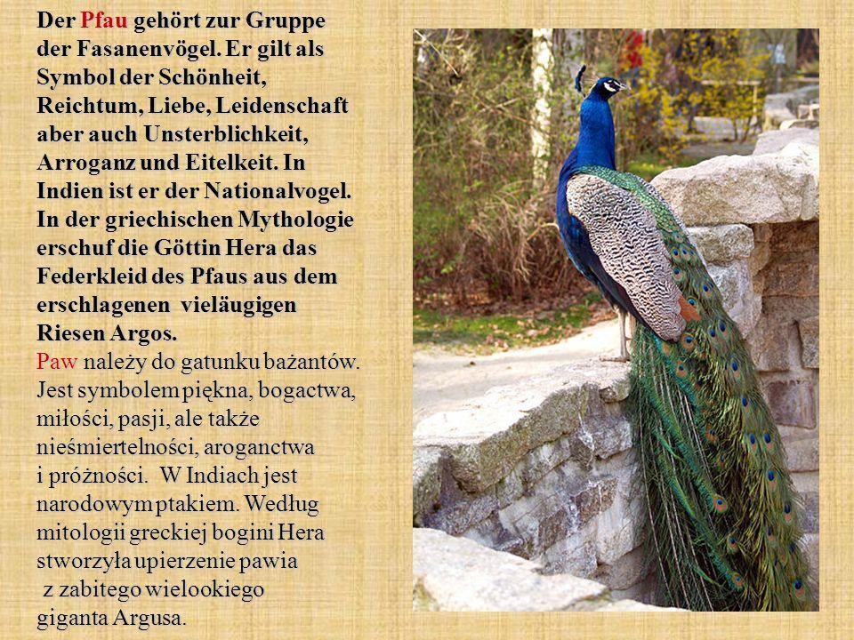 Der Pfau gehört zur Gruppe der Fasanenvögel