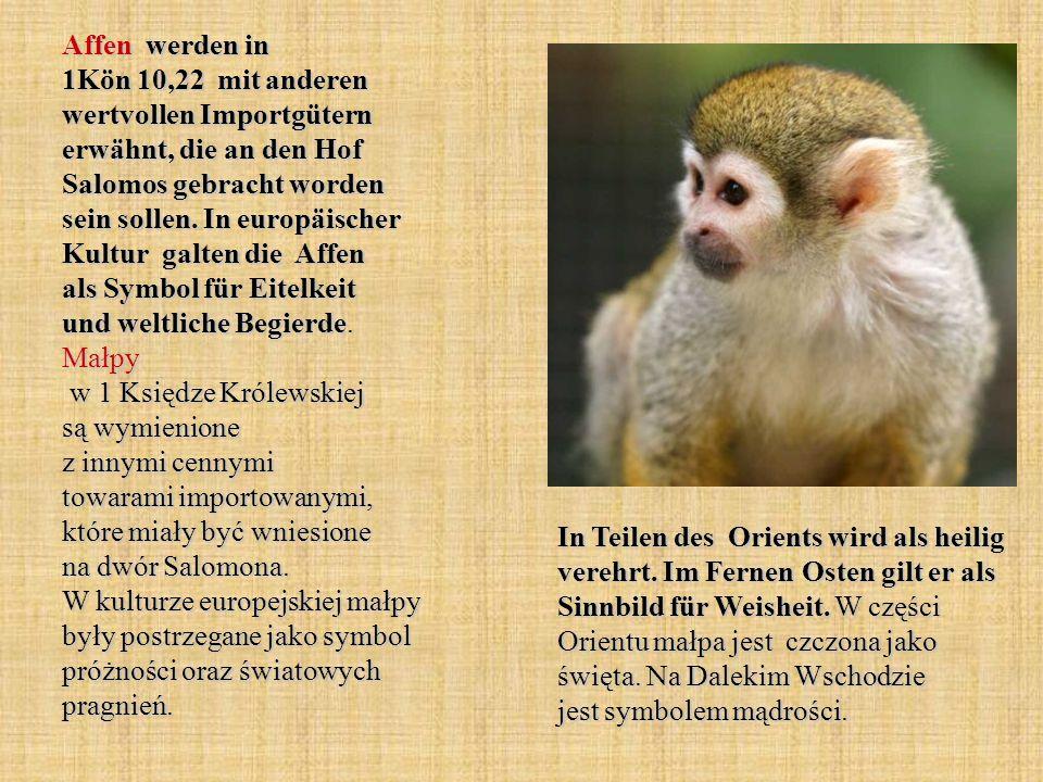 Affen werden in 1Kön 10,22 mit anderen wertvollen Importgütern erwähnt, die an den Hof Salomos gebracht worden sein sollen. In europäischer Kultur galten die Affen als Symbol für Eitelkeit und weltliche Begierde. Małpy w 1 Księdze Królewskiej są wymienione z innymi cennymi towarami importowanymi, które miały być wniesione na dwór Salomona. W kulturze europejskiej małpy były postrzegane jako symbol próżności oraz światowych pragnień.