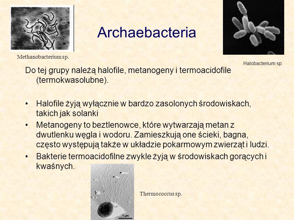 Archaebacteria Methanobacterium sp. Halobacterium sp. Do tej grupy należą halofile, metanogeny i termoacidofile (termokwasolubne).