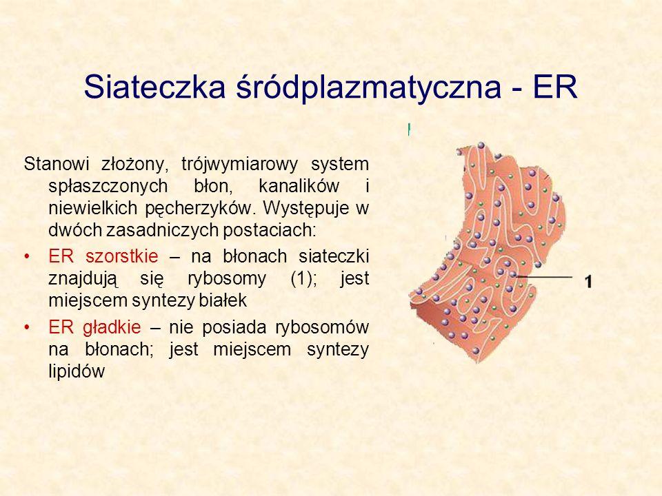 Siateczka śródplazmatyczna - ER