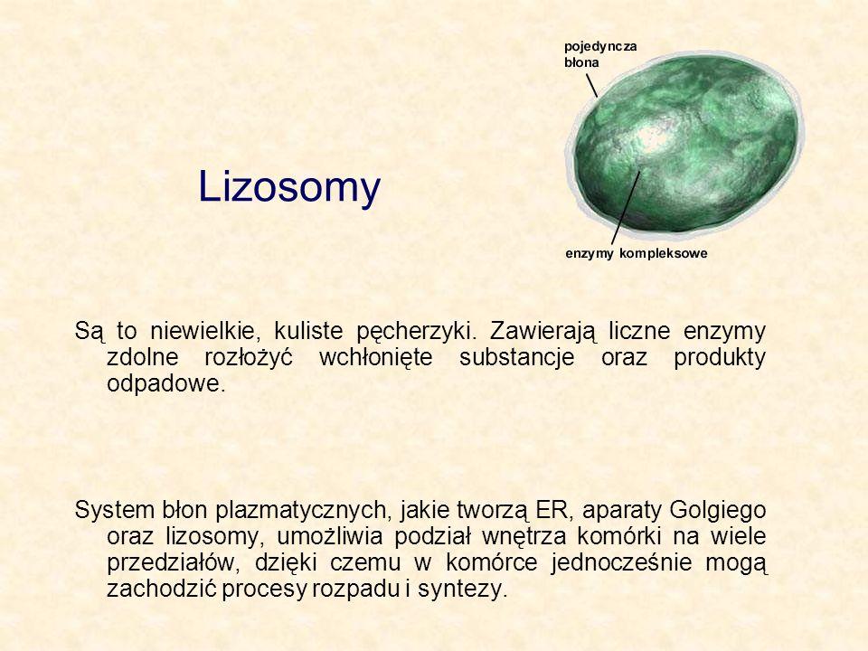 Lizosomy Są to niewielkie, kuliste pęcherzyki. Zawierają liczne enzymy zdolne rozłożyć wchłonięte substancje oraz produkty odpadowe.