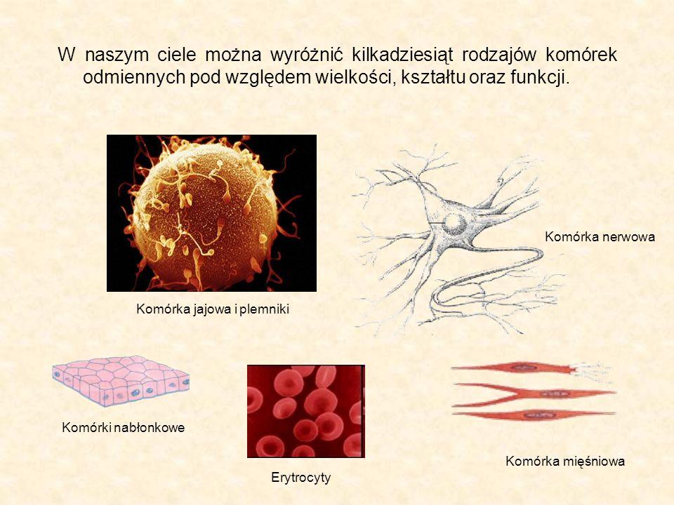 W naszym ciele można wyróżnić kilkadziesiąt rodzajów komórek odmiennych pod względem wielkości, kształtu oraz funkcji.