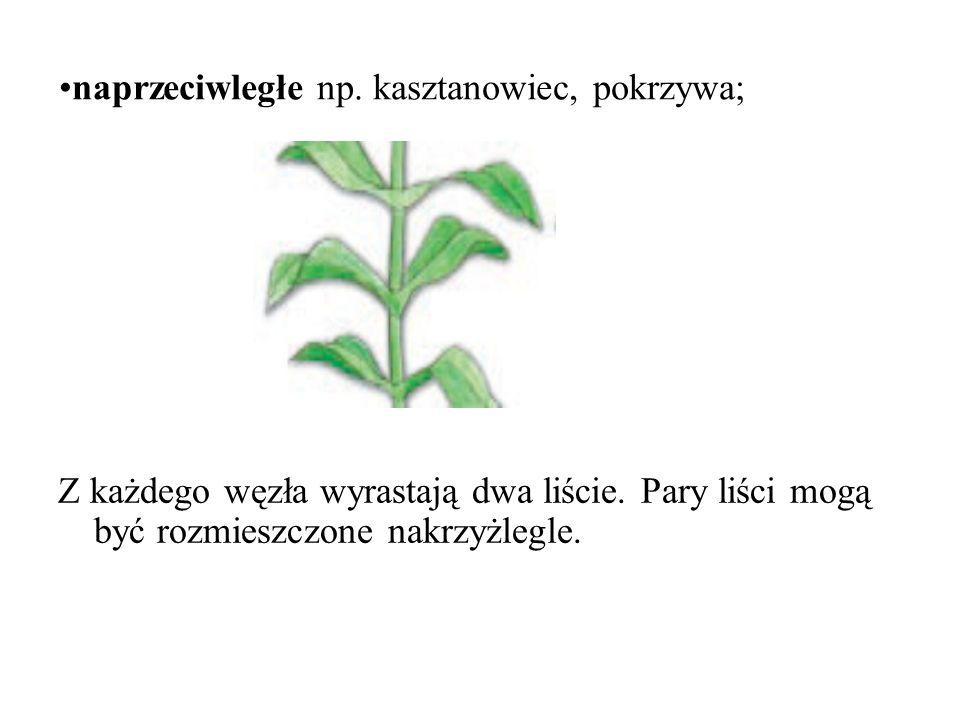 naprzeciwległe np. kasztanowiec, pokrzywa;