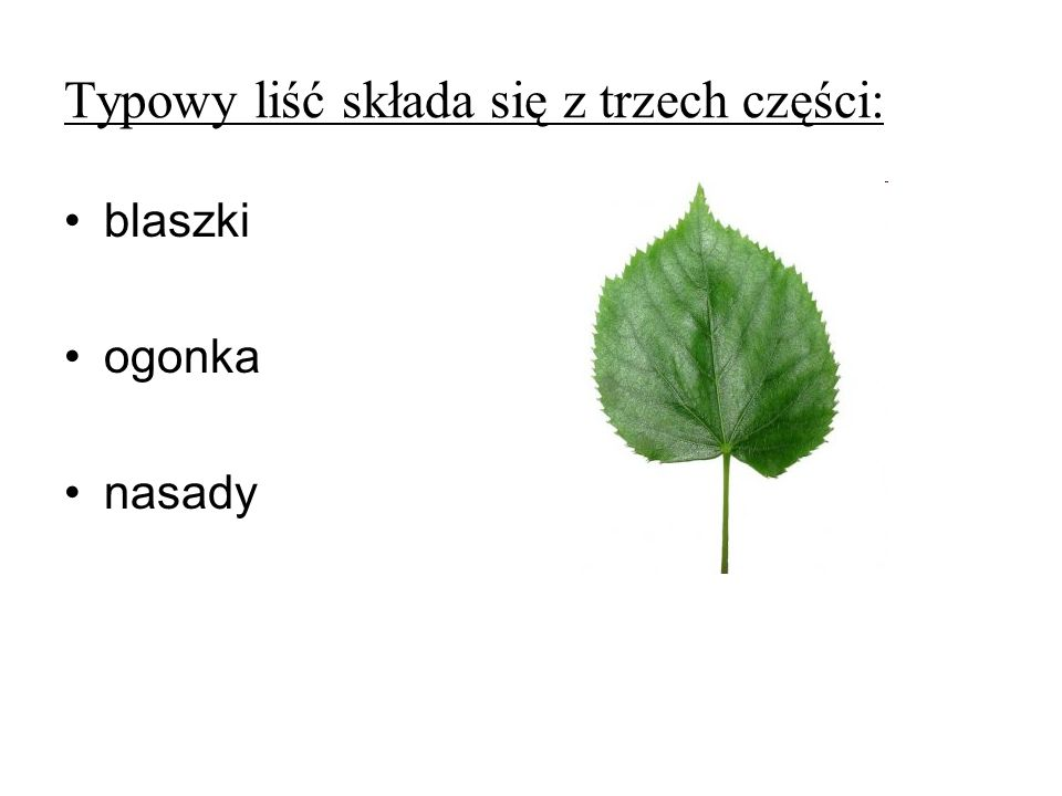 Typowy liść składa się z trzech części: