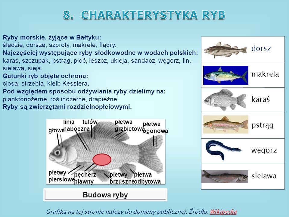 dorsz makrela karaś pstrąg węgorz sielawa Budowa ryby