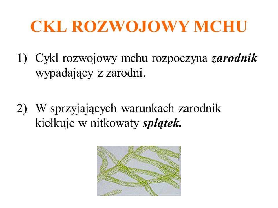 CKL ROZWOJOWY MCHU Cykl rozwojowy mchu rozpoczyna zarodnik wypadający z zarodni.