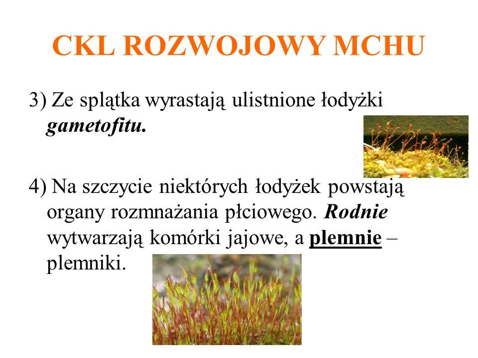 CKL ROZWOJOWY MCHU 3) Ze splątka wyrastają ulistnione łodyżki gametofitu.