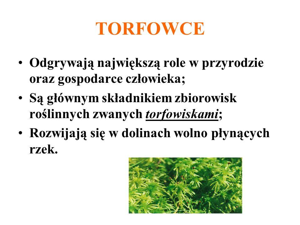 TORFOWCEOdgrywają największą role w przyrodzie oraz gospodarce człowieka; Są głównym składnikiem zbiorowisk roślinnych zwanych torfowiskami;