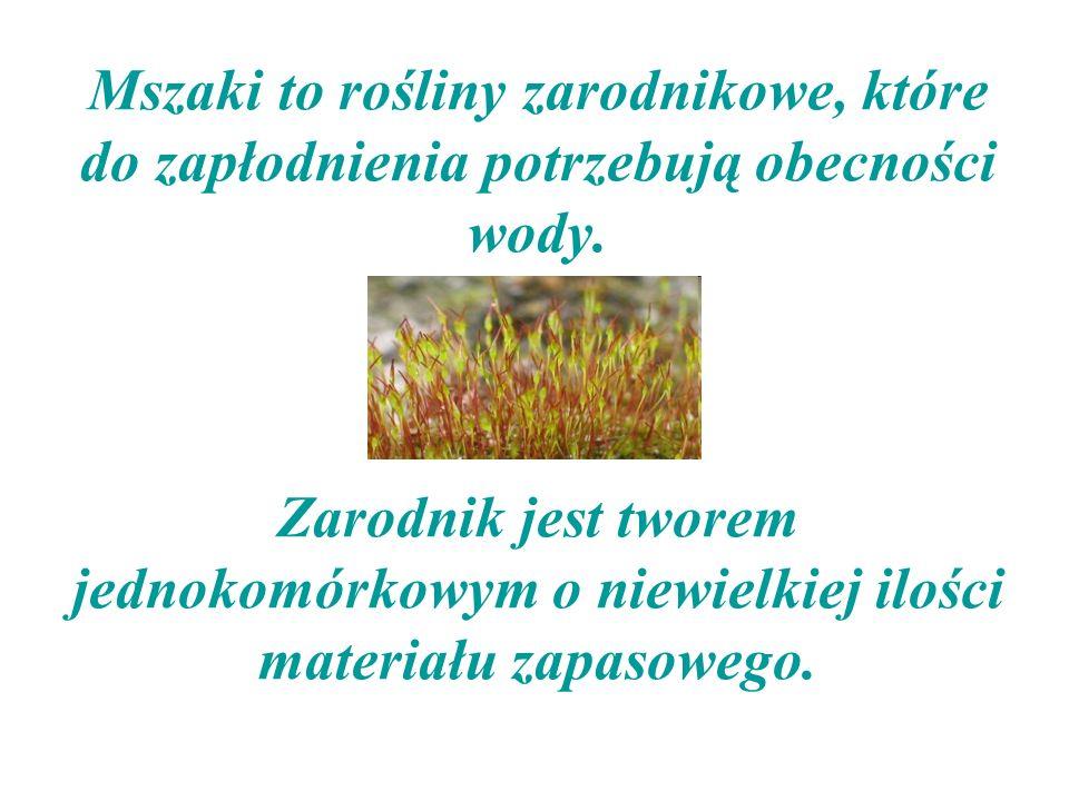 Mszaki to rośliny zarodnikowe, które do zapłodnienia potrzebują obecności wody.
