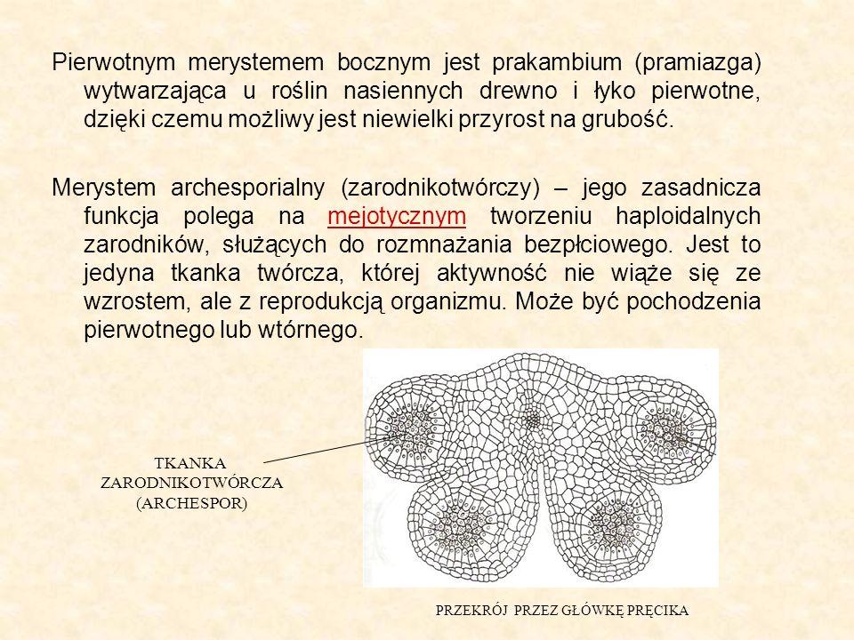 Pierwotnym merystemem bocznym jest prakambium (pramiazga) wytwarzająca u roślin nasiennych drewno i łyko pierwotne, dzięki czemu możliwy jest niewielki przyrost na grubość.