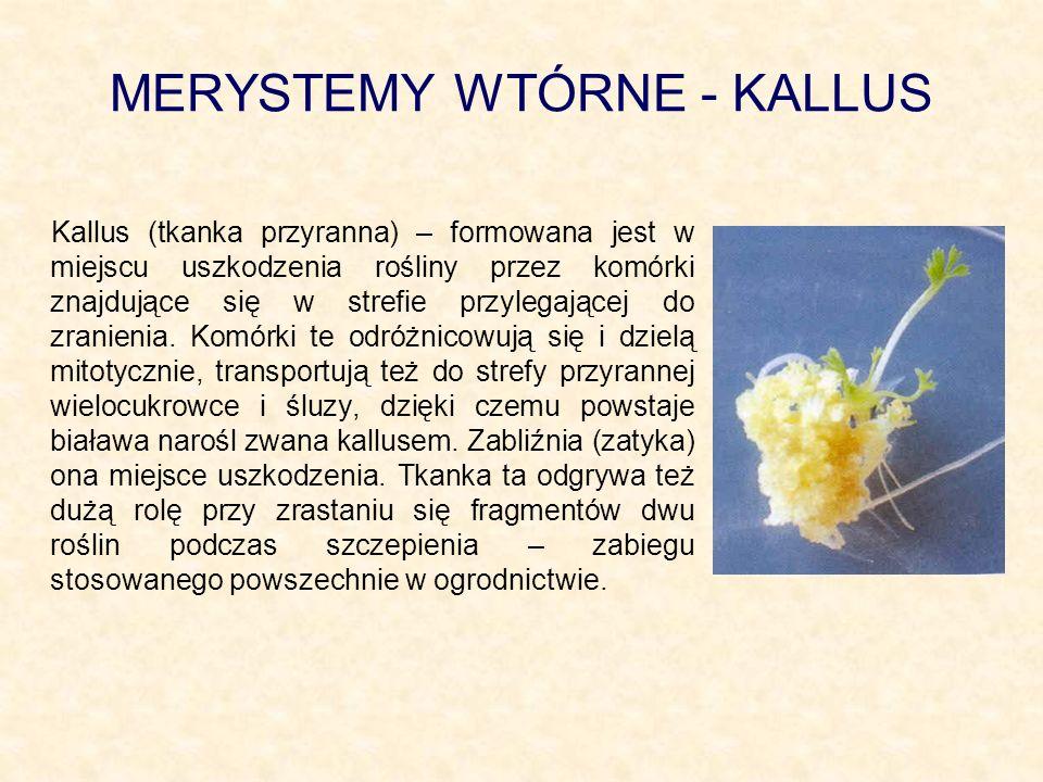 MERYSTEMY WTÓRNE - KALLUS