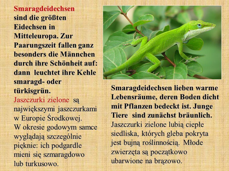Smaragdeidechsen sind die größten Eidechsen in Mitteleuropa