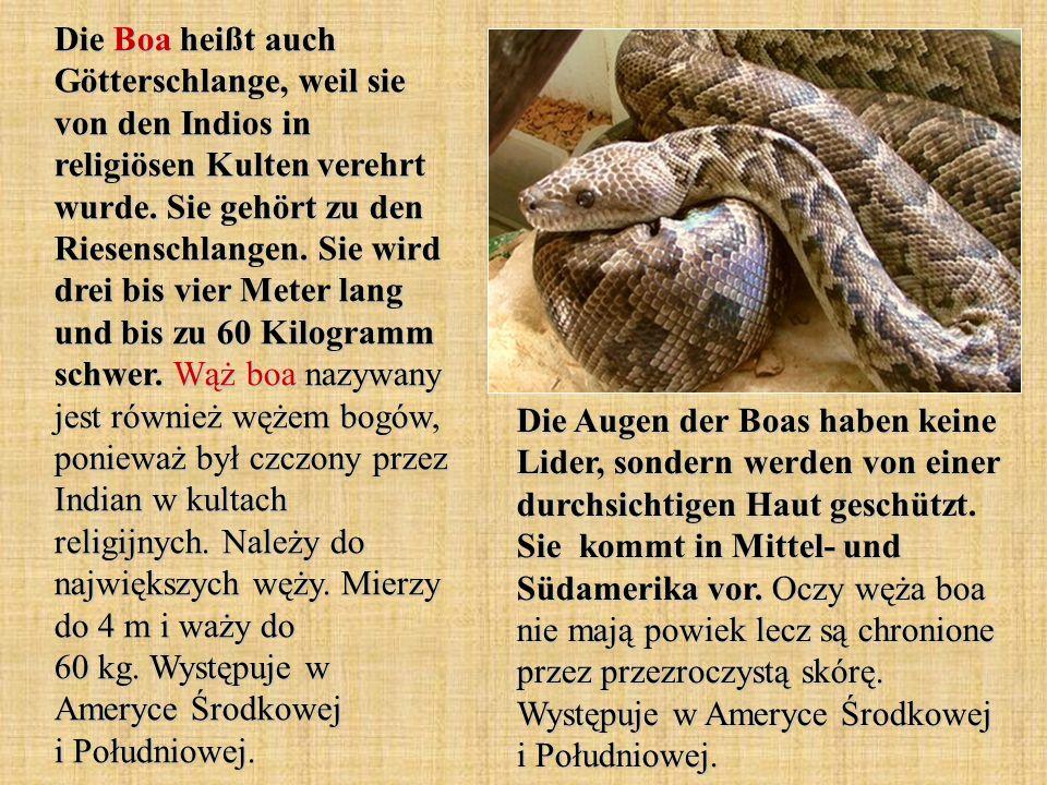 Die Boa heißt auch Götterschlange, weil sie von den Indios in religiösen Kulten verehrt wurde. Sie gehört zu den Riesenschlangen. Sie wird drei bis vier Meter lang und bis zu 60 Kilogramm schwer. Wąż boa nazywany jest również wężem bogów, ponieważ był czczony przez Indian w kultach religijnych. Należy do największych węży. Mierzy do 4 m i waży do 60 kg. Występuje w Ameryce Środkowej i Południowej.