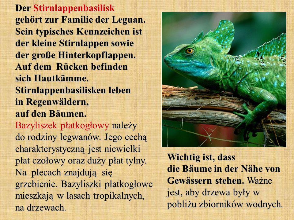 Der Stirnlappenbasilisk gehört zur Familie der Leguan