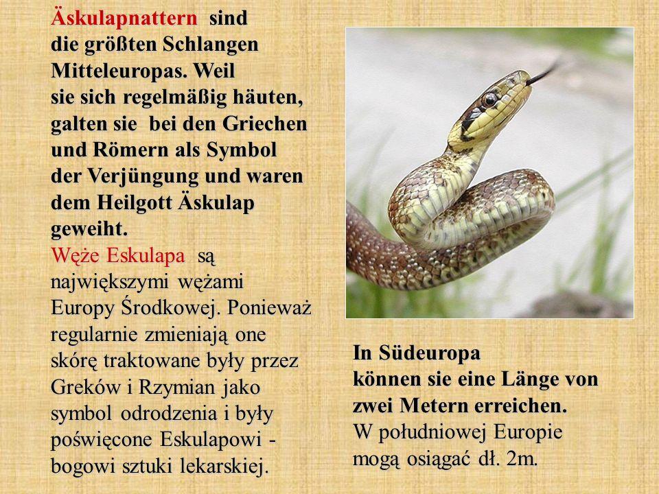 Äskulapnattern sind die größten Schlangen Mitteleuropas