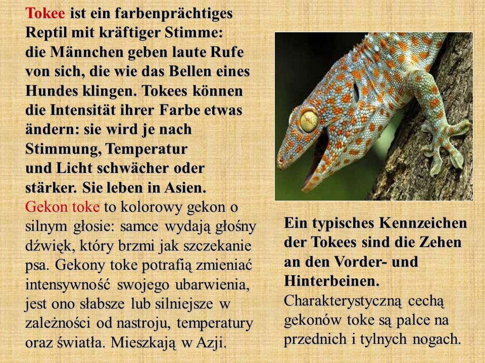 Tokee ist ein farbenprächtiges Reptil mit kräftiger Stimme: die Männchen geben laute Rufe von sich, die wie das Bellen eines Hundes klingen. Tokees können die Intensität ihrer Farbe etwas ändern: sie wird je nach Stimmung, Temperatur und Licht schwächer oder stärker. Sie leben in Asien. Gekon toke to kolorowy gekon o silnym głosie: samce wydają głośny dźwięk, który brzmi jak szczekanie psa. Gekony toke potrafią zmieniać intensywność swojego ubarwienia, jest ono słabsze lub silniejsze w zależności od nastroju, temperatury oraz światła. Mieszkają w Azji.