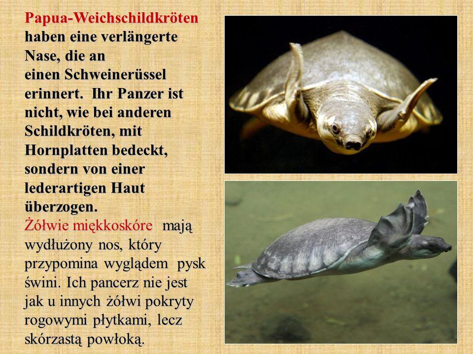 Papua-Weichschildkröten haben eine verlängerte Nase, die an einen Schweinerüssel erinnert.