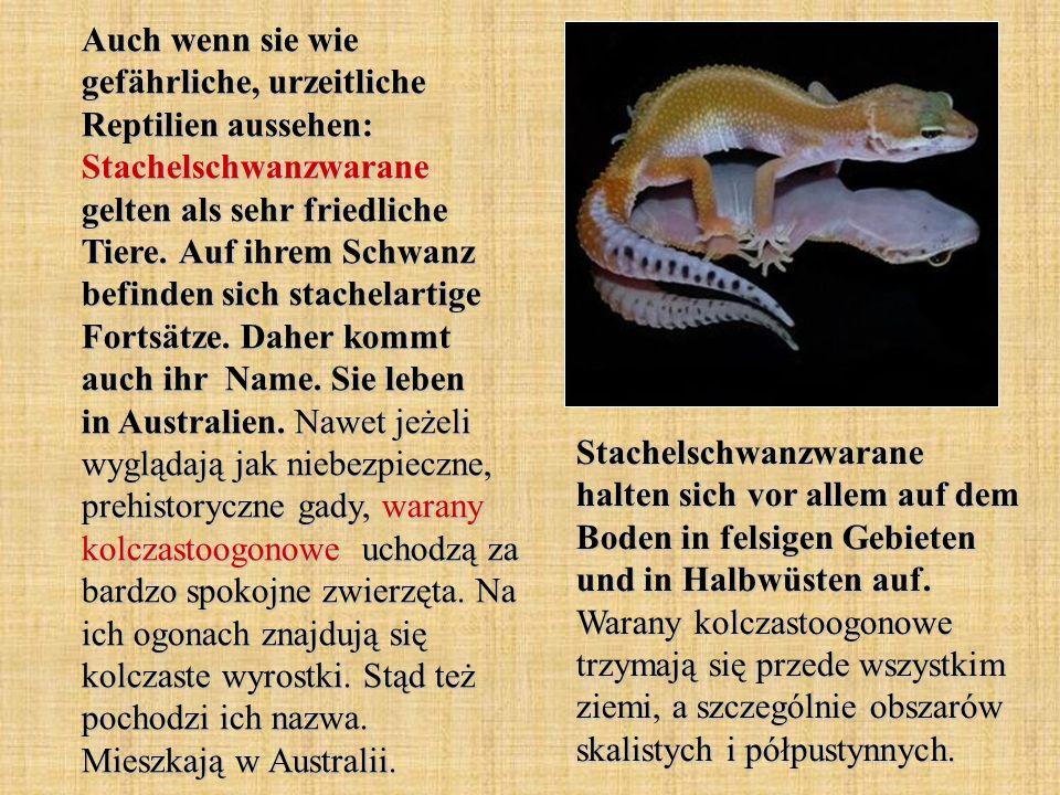 Auch wenn sie wie gefährliche, urzeitliche Reptilien aussehen: Stachelschwanzwarane gelten als sehr friedliche Tiere. Auf ihrem Schwanz befinden sich stachelartige Fortsätze. Daher kommt auch ihr Name. Sie leben in Australien. Nawet jeżeli wyglądają jak niebezpieczne, prehistoryczne gady, warany kolczastoogonowe uchodzą za bardzo spokojne zwierzęta. Na ich ogonach znajdują się kolczaste wyrostki. Stąd też pochodzi ich nazwa. Mieszkają w Australii.