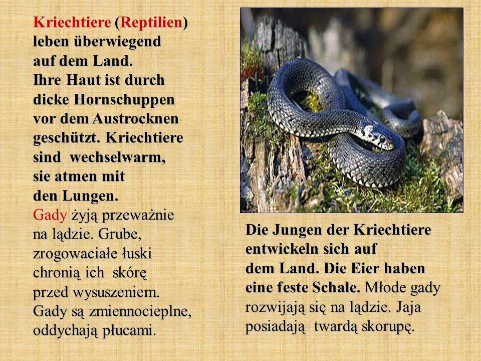 Kriechtiere (Reptilien) leben überwiegend auf dem Land