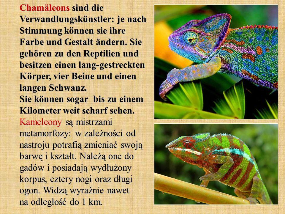 Chamäleons sind die Verwandlungskünstler: je nach Stimmung können sie ihre Farbe und Gestalt ändern.