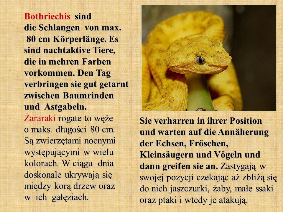 Bothriechis sind die Schlangen von max. 80 cm Körperlänge