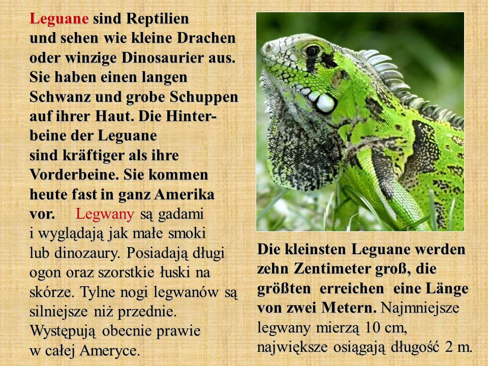Leguane sind Reptilien und sehen wie kleine Drachen oder winzige Dinosaurier aus. Sie haben einen langen Schwanz und grobe Schuppen auf ihrer Haut. Die Hinter- beine der Leguane sind kräftiger als ihre Vorderbeine. Sie kommen heute fast in ganz Amerika vor. Legwany są gadami i wyglądają jak małe smoki lub dinozaury. Posiadają długi ogon oraz szorstkie łuski na skórze. Tylne nogi legwanów są silniejsze niż przednie. Występują obecnie prawie w całej Ameryce.