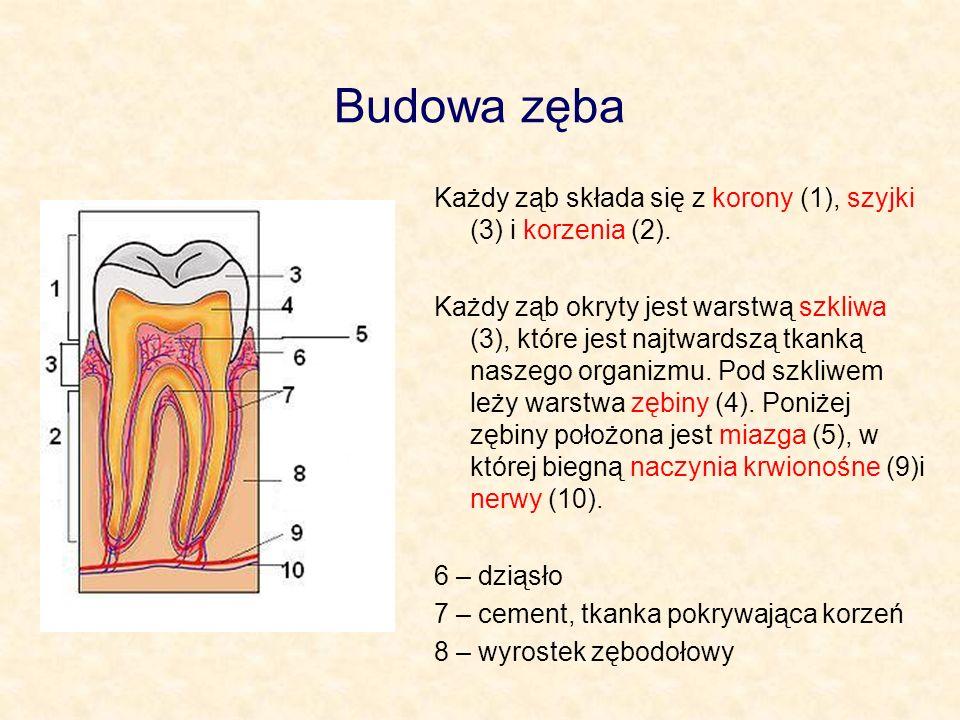Budowa zęba Każdy ząb składa się z korony (1), szyjki (3) i korzenia (2).