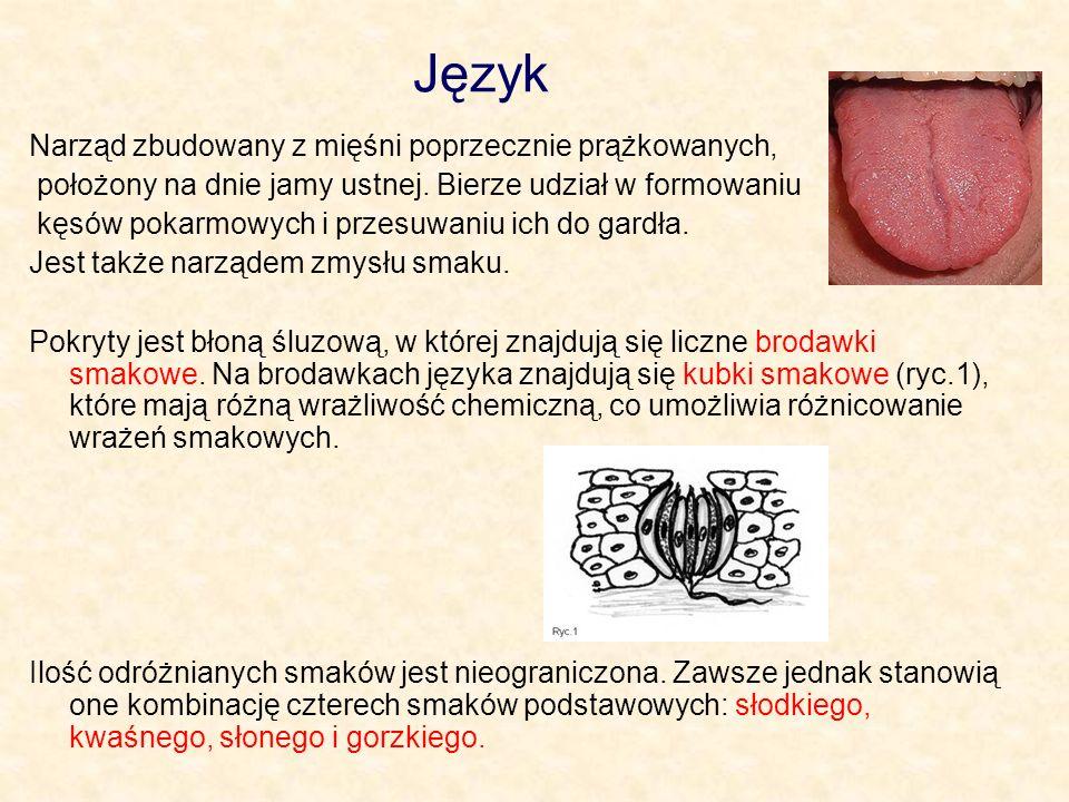 Język Narząd zbudowany z mięśni poprzecznie prążkowanych,