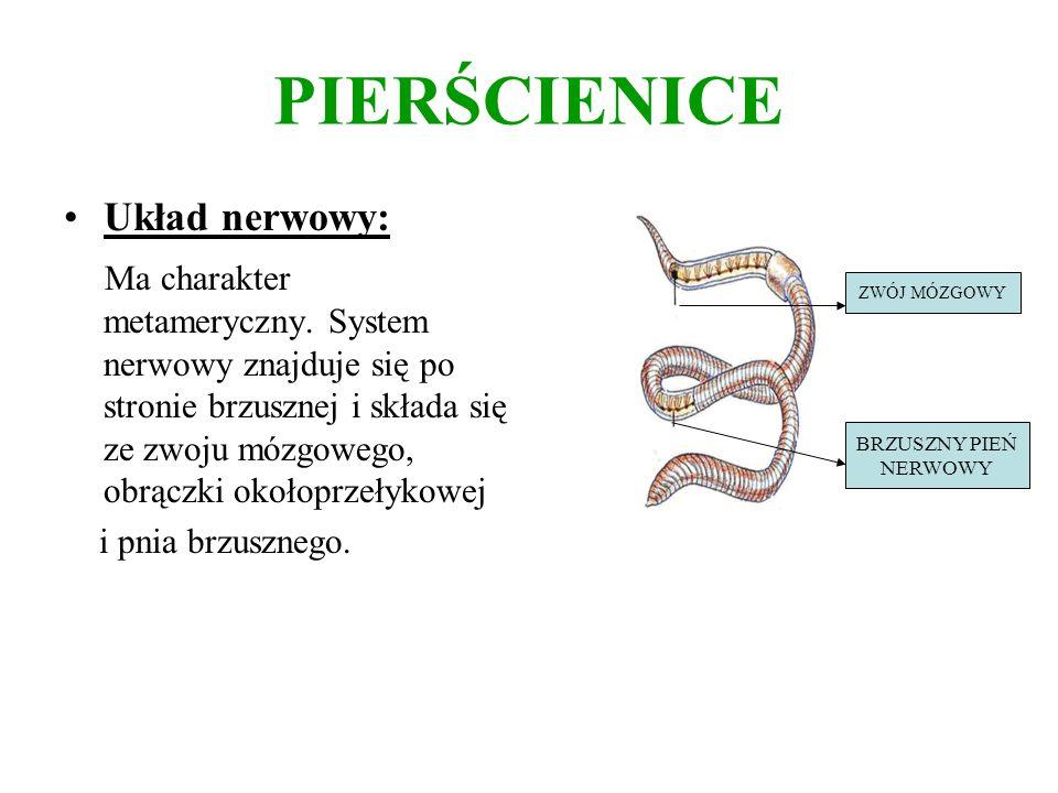 PIERŚCIENICE Układ nerwowy: