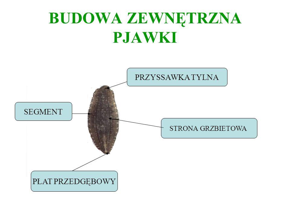 BUDOWA ZEWNĘTRZNA PJAWKI