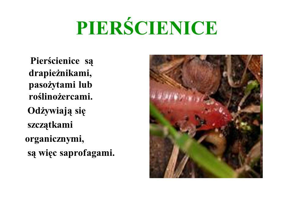 PIERŚCIENICE Pierścienice są drapieżnikami, pasożytami lub roślinożercami. Odżywiają się. szczątkami.