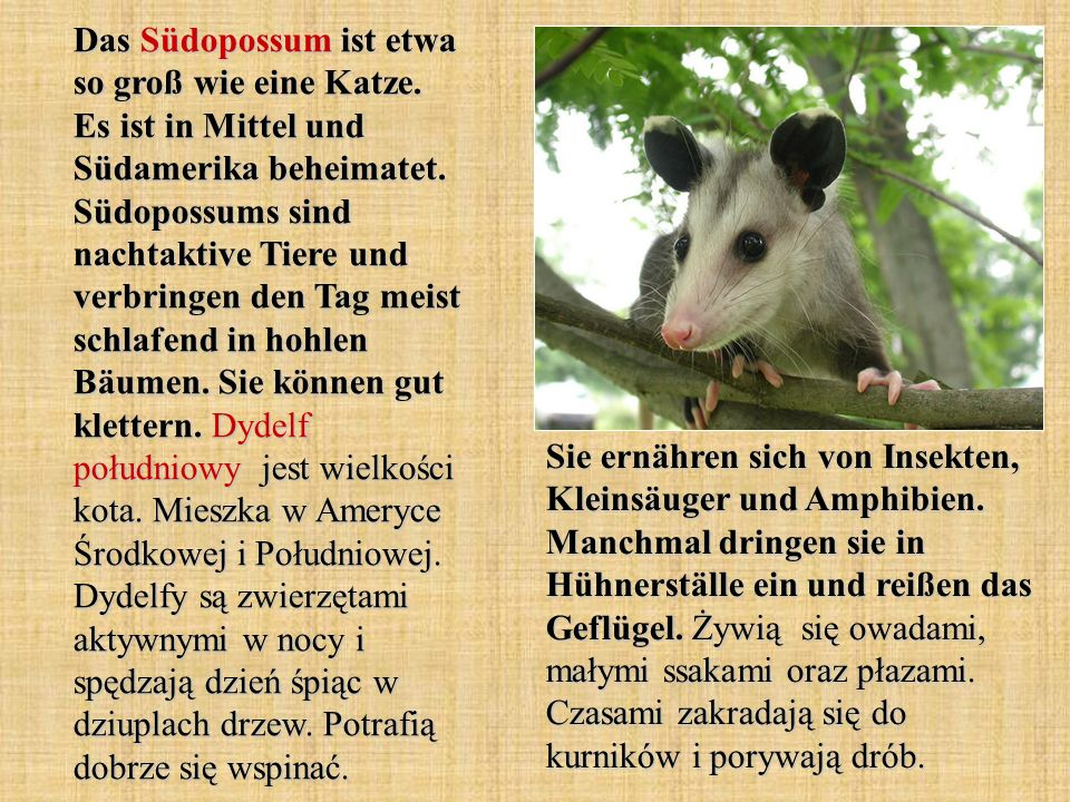 Das Südopossum ist etwa so groß wie eine Katze