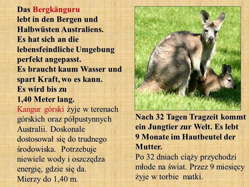 Das Bergkänguru lebt in den Bergen und Halbwüsten Australiens