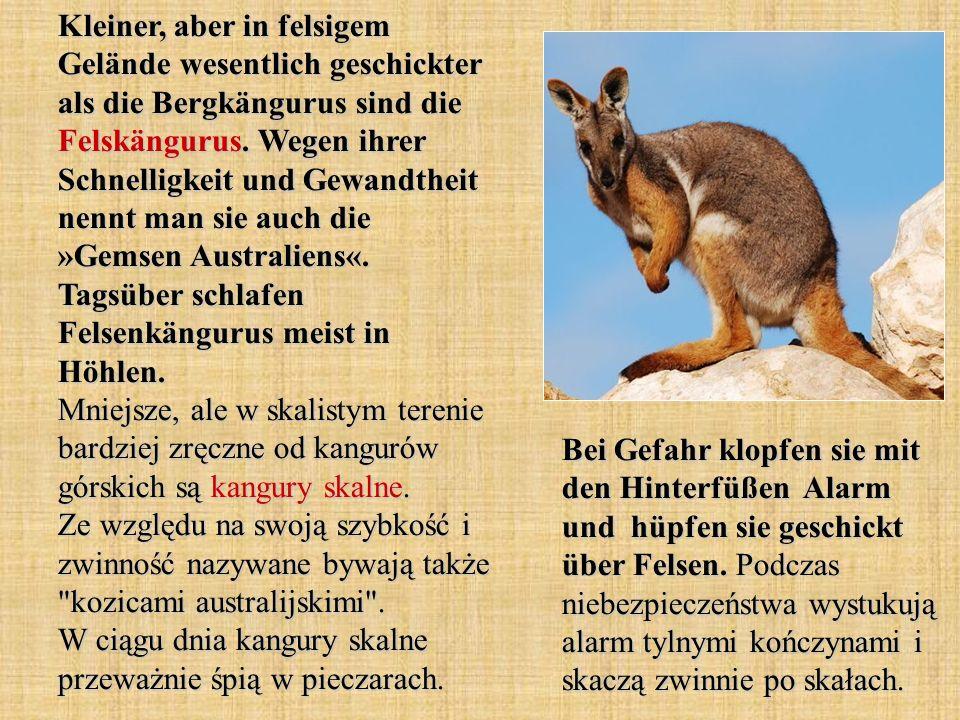 Kleiner, aber in felsigem Gelände wesentlich geschickter als die Bergkängurus sind die Felskängurus. Wegen ihrer Schnelligkeit und Gewandtheit nennt man sie auch die »Gemsen Australiens«. Tagsüber schlafen Felsenkängurus meist in Höhlen. Mniejsze, ale w skalistym terenie bardziej zręczne od kangurów górskich są kangury skalne. Ze względu na swoją szybkość i zwinność nazywane bywają także kozicami australijskimi . W ciągu dnia kangury skalne przeważnie śpią w pieczarach.