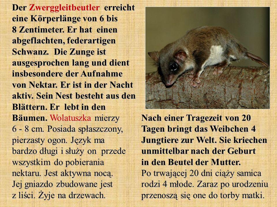 Der Zwerggleitbeutler erreicht eine Körperlänge von 6 bis 8 Zentimeter