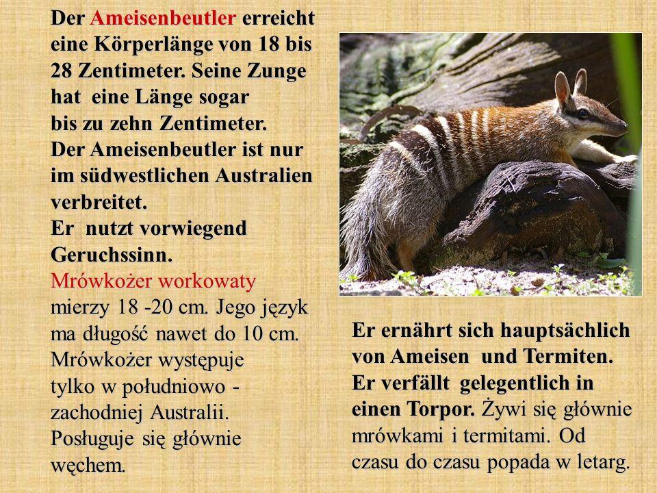 Der Ameisenbeutler erreicht eine Körperlänge von 18 bis 28 Zentimeter