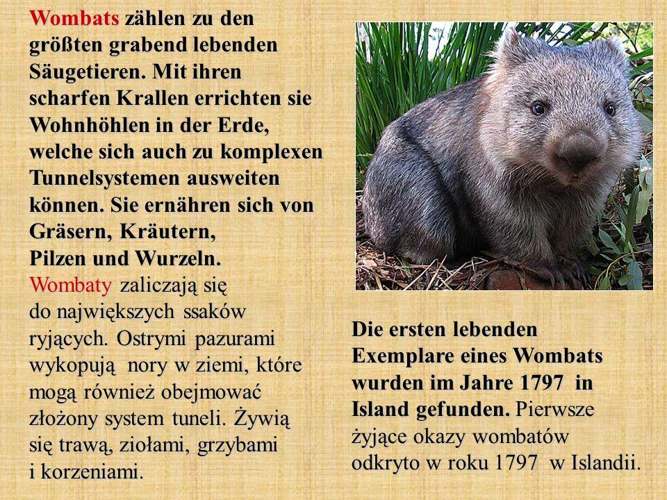 Wombats zählen zu den größten grabend lebenden Säugetieren